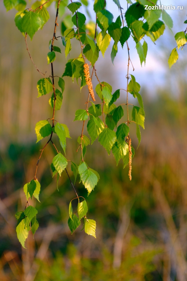 Чем полезны березовые листья для организма человека?