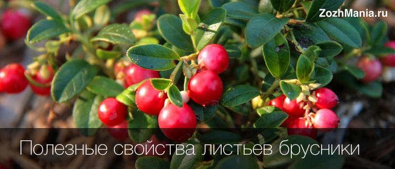 Брусничный лист полезные свойства и противопоказания
