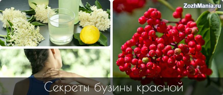 ᐉ Бузина красная - полезные свойства, описание