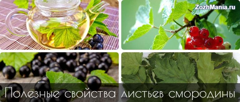 Листья чрной смородины польза