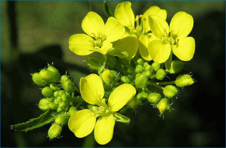Растение в народной медицине
