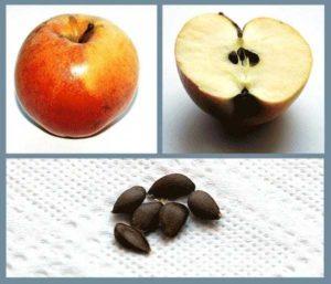 косточки яблочные