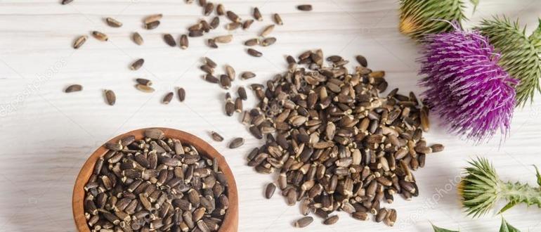 Семя расторопши полезные свойства и противопоказания